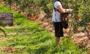 A fruit picker at an apple orchard near Shepperton, Victoria, Australia.