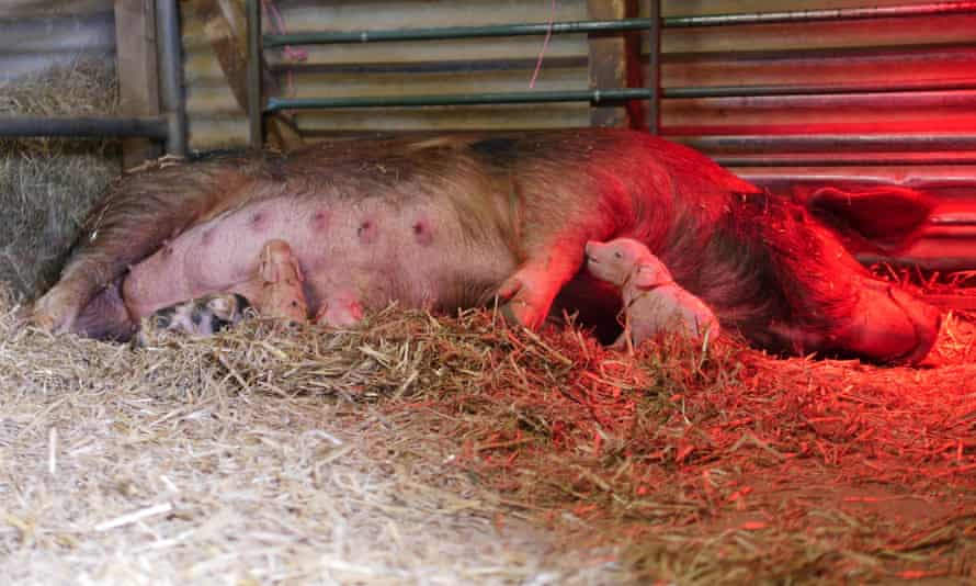 Little Ginge, an Oxford sandy and black sow, with some of her piglets soon after birth.