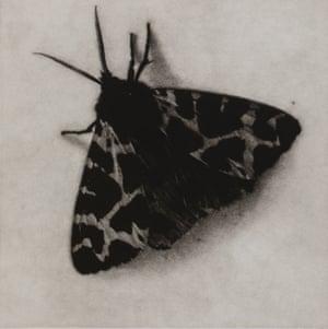 Garden Tiger moth mezzotint by printmaker and artist Sarah Gillespie