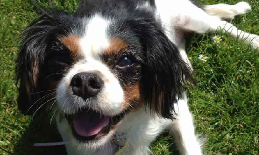 Lucy, a cavalier King Charles spaniel who died at a Welsh puppy farm in 2016