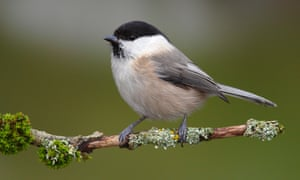A willow tit on a lichen-covered branch