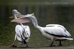 Two spot-billed pelicans interact on the banks of an artificial lake in Colombo, Sri Lanka.