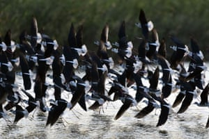 A flock of black-winged stilts take to the air at Guandu Nature Park in Taipei