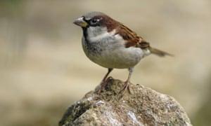 House sparrow in a garden, County Durham