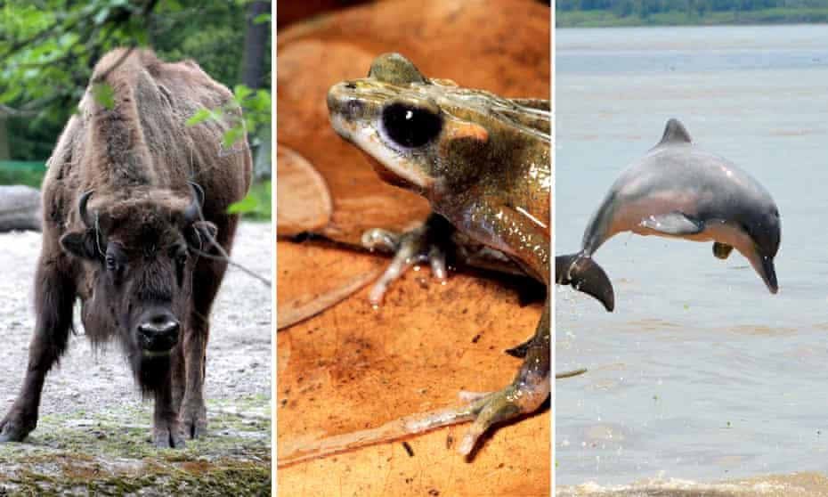 From left: European bison, atelopus senex toad and tucuxi dolphin.