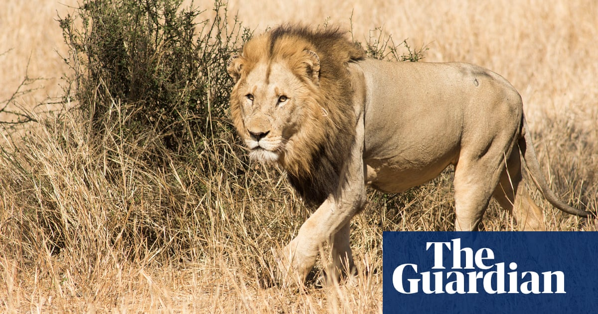 Lion poaching: the brutal new threat to Africa's prides