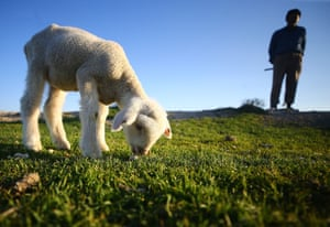 Karapinar district, Turkey A lamb grazes