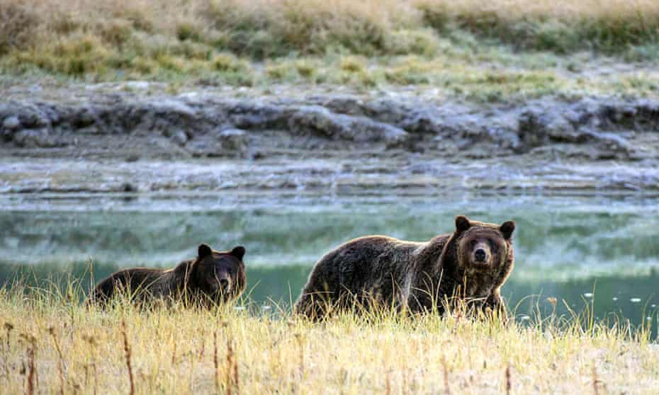 A Grizzly bear mother and her cub