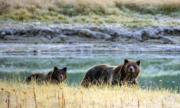 POLL: Should grizzly bears be removed from the endangered species list?