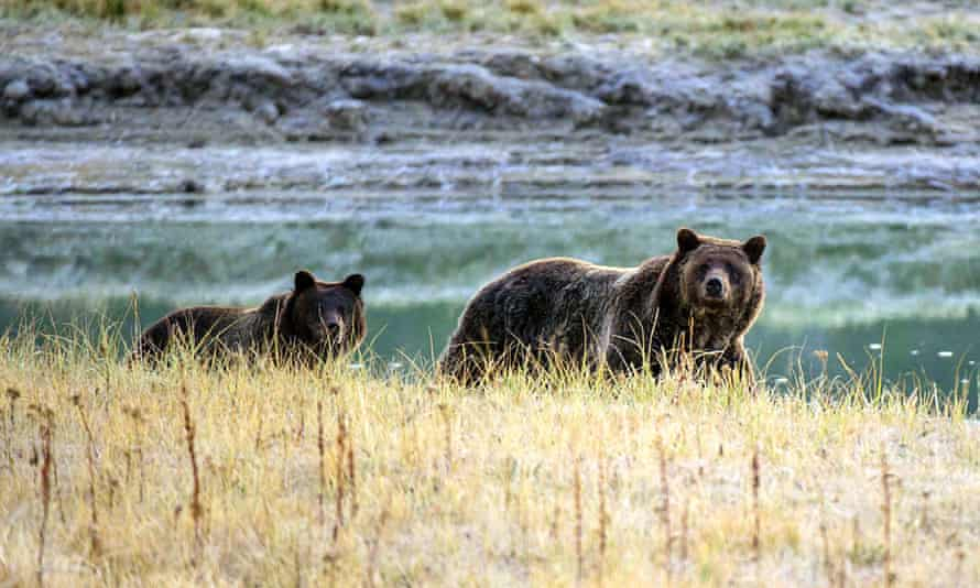 A grizzly bear mother and her cub in Yellowstone.