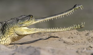 Gharials like this Asian gharial are among the animals pterosaurs are often compared to.