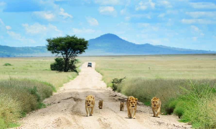 A young family of lions walking on the dirt road in Serengeti national park