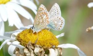 Common blue butterflies share a shasta daisy in a Fordingbridge garden.