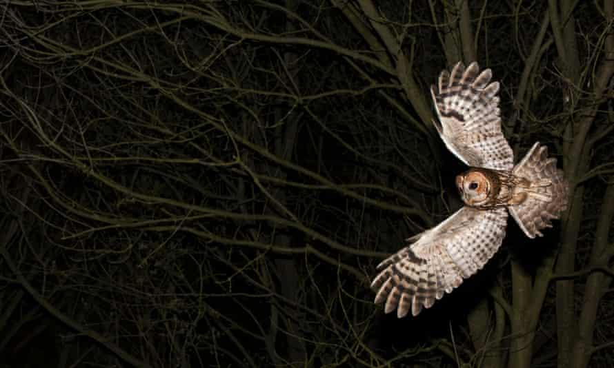 A tawny owl, Strix aluco, hunting at night