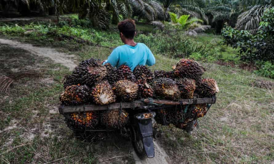 A worker carries freshly harvested palm fruits on his motorbike at a palm oil plantation in North Sumatra, Indonesia
