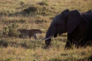 A leopard walks past an elephant in the Maasai Mara reserve in Kenya