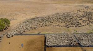 Taking sheep away from the yards at Konetta, South Australia.