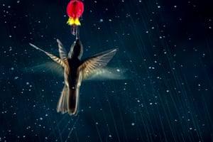 A hummingbird feeds from a flower