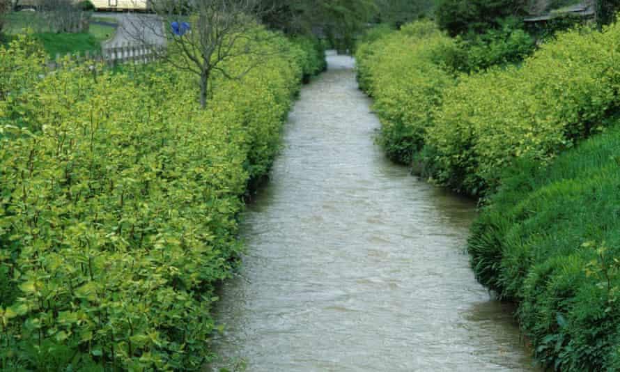 Japanese knotweed invading a riverbank