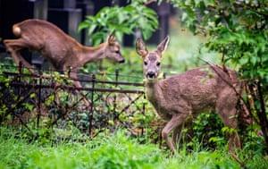 Deers stand between tombstones at the Vienna central cemetery (Zentralfriedhof)