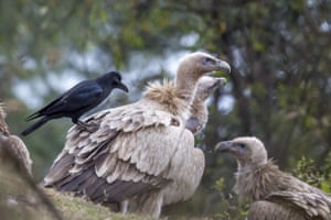 A crow sits on a Himalayan Griffon vulture in India