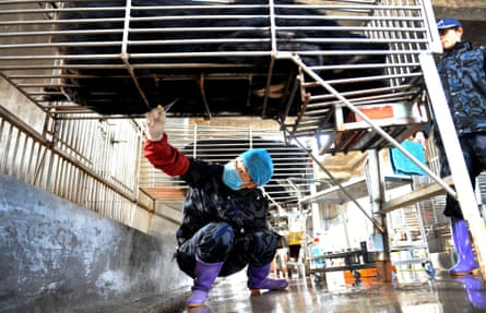 Chinese workers collect bear bile at a controversial farm in 2012.