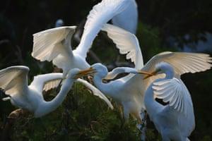 Egrets play near Hongze Lake in China
