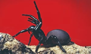 Sydney funnel web spider sitting on sand in front of a red background