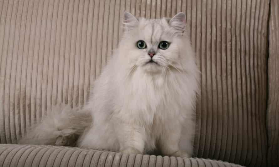 Siberian silver Cat