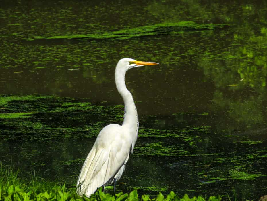 A great egret cooling off in Central Park.