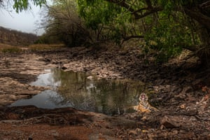 A tiger cooling in water in Ranthambore national park, India