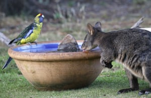 A green rosella and a wallaby, known as a Pademelon, drink from a water bowl put out for thirsty wild animals at a backyard in Kayena, northern Tasmania