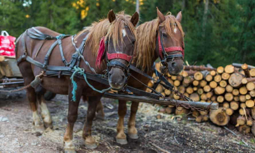 Horses tied to a cart for carrying timber or firewood.