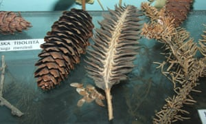 Female cone and seeds of Picea abies.