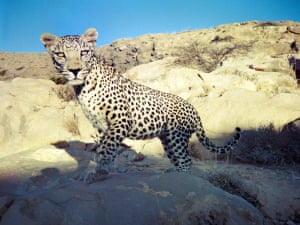 Leopard from Candid Creatures: How Camera Traps Reveal the Mysteries of Nature