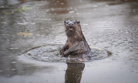 Otter in river