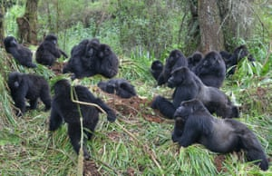 A group of gorillas gathers for an afternoon rest in Rwanda's Volcanoes national park.