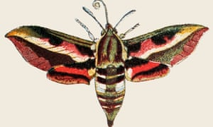 "'The sphinx moth raced its engines for takeoff like a jet on a runway,"" writes Annie Dillard. 'I could see its brown body vibrate and its red-and-black wings tremble.'"