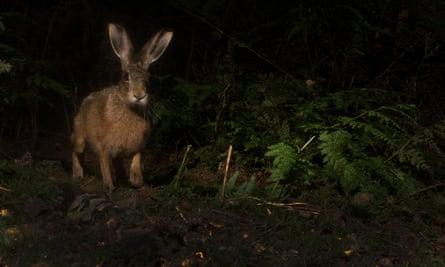 Night-roamer: a brown hare (Lepus europaeus).