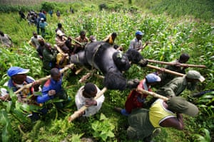 Brent Stirten's amazing picture of conservation rangers moving the body of a dead mountain gorilla at the Virunga National Park in eastern Congo is part of '20th Anniversary of Getty Images'.