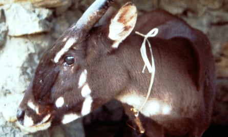 A profile of Martha, a female saola that survived a few weeks in captivity in a village in Laos in 1996 before perishing.