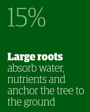 15% - large roots absorb water, nutrients and anchor the tree to the ground