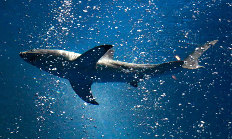 A shark swims inside the Open Sea exhibit at the Monterey Bay aquarium in California. Photograph: David Royal/AP