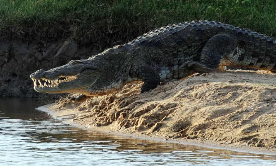 A Sri Lankan crocodile