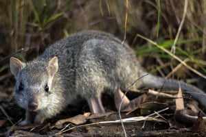 A northern bettong (Bettongia tropica), or rat-kangaroo, at a wildlife care house in Ravenshoe, Queensland, Australia.