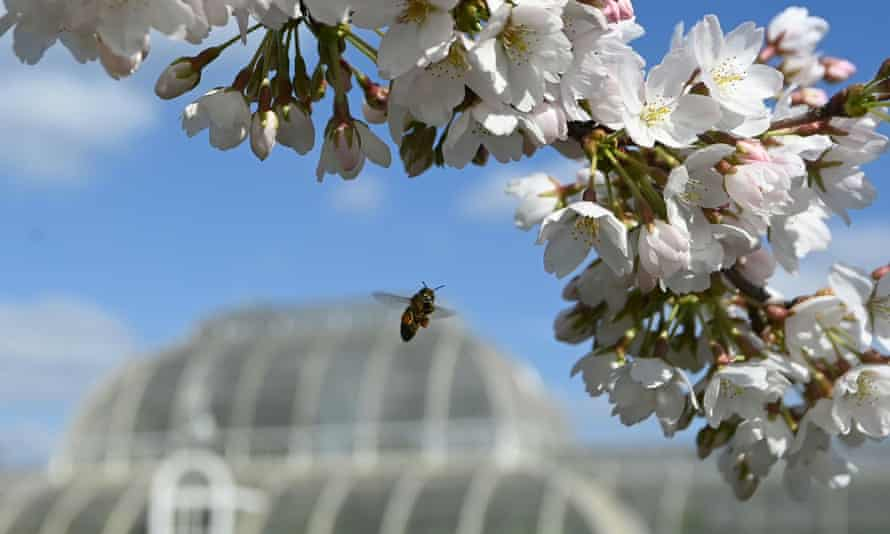 A bee collects pollen from cherry blossom at Royal Botanic Gardens, Kew, London, Britain.