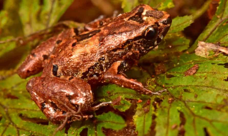 The 'lilliputian frog' (Noblella sp nov)