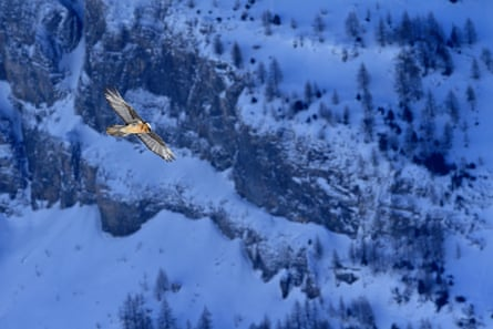 Bearded vultures were hunted to extinction in the Alps in the 20th century
