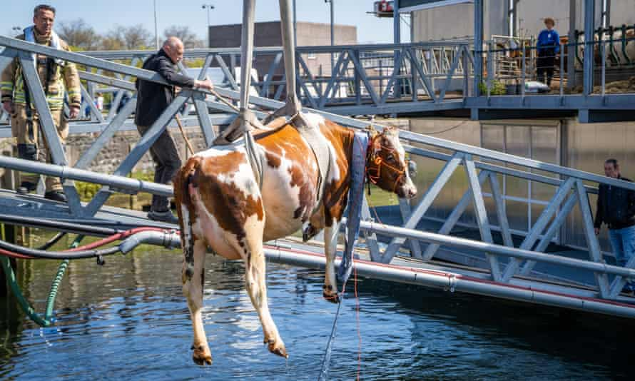 A cow is rescued after falling into the water at a floating farm in Rotterdam, Netherlands last month