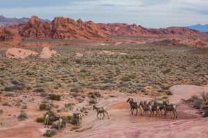Bighorn sheep walk in the Valley of Fire state park, Clark County, Nevada.